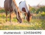 a pair of wild ponies  equus... | Shutterstock . vector #1245364090
