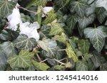 ivy in the snow | Shutterstock . vector #1245414016