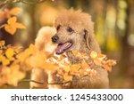 beautiful standard poodle... | Shutterstock . vector #1245433000