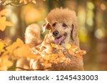 beautiful standard poodle... | Shutterstock . vector #1245433003