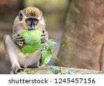 Barbados Green Monkey On The...