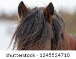 a portrait of a single chestnut ... | Shutterstock . vector #1245524710
