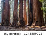 single man with huge grove of... | Shutterstock . vector #1245559723