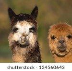 Alpaca Who Resemble A Small...