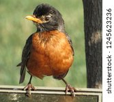 Robin Redbreast Perched On A...