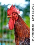 Close Up Of A Rhode Island Red...