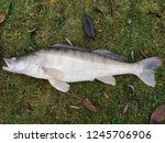 big zander fish | Shutterstock . vector #1245706906