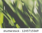 closeup of a sunlit grass lawn | Shutterstock . vector #1245715369