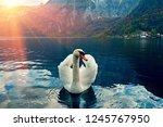 Swan Portrait. Mute Swan ...