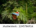 red parrot in flight. macaw... | Shutterstock . vector #1245786916