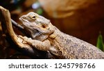 tropical lizard on wood  | Shutterstock . vector #1245798766