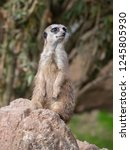 suricata  suricatta  stands on... | Shutterstock . vector #1245805930
