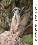 suricata  suricatta  stands on... | Shutterstock . vector #1245805933