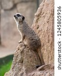 suricata  suricatta  stands on... | Shutterstock . vector #1245805936