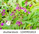 spring vetch or spring pea ... | Shutterstock . vector #1245901813