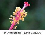 Close Up Macro Of Pink Hibiscu...