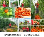 Picking tomatoes in a greenhouse, teamwork - stock photo