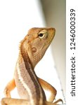 garden lizard. these changeable ... | Shutterstock . vector #1246000339