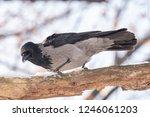carrion crow  corvus corone  on ... | Shutterstock . vector #1246061203