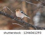 the common chaffinch  fringilla ... | Shutterstock . vector #1246061293