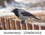 carrion crow  corvus corone ... | Shutterstock . vector #1246061416