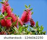 a red colour spiky bottlebrush... | Shutterstock . vector #1246062250
