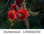 a red colour spiky bottlebrush... | Shutterstock . vector #1246062253