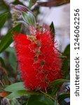a red colour spiky bottlebrush... | Shutterstock . vector #1246062256