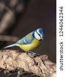 eurasian blue tit  cyanistes... | Shutterstock . vector #1246062346