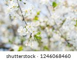 blooming cherry branch on a... | Shutterstock . vector #1246068460