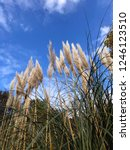 close up common reed  common...   Shutterstock . vector #1246123510