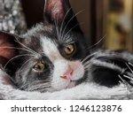 close up view of black kitten... | Shutterstock . vector #1246123876