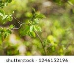 branches of fly honeysuckle ... | Shutterstock . vector #1246152196