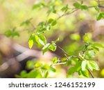 branches of fly honeysuckle ... | Shutterstock . vector #1246152199