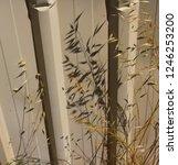 dried avena fatua common wild... | Shutterstock . vector #1246253200