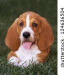 Cute Brown And White Basset...