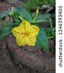 mirabilis jalapa is a long... | Shutterstock . vector #1246593403