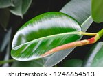 rubber fig's big smooth green... | Shutterstock . vector #1246654513