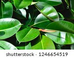 rubber fig's big smooth green... | Shutterstock . vector #1246654519
