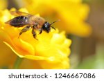 Bee Collects Honey From Yellow...