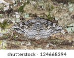 Small photo of Mottled Beauty (Alcis repandata) Geometridae camouflaged on oak, macro photo