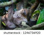 Lazy Sleeping Sloth  Bradypus...