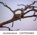 young leopard is enjoying the...   Shutterstock . vector #1247024683