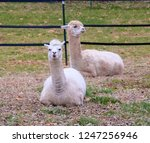 two alpacas sitting on the... | Shutterstock . vector #1247256946