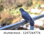 flock of pigeons in nature in a ... | Shutterstock . vector #1247264776