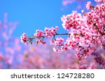 Beautiful Cherry Blossom In Th...