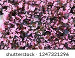 pale pink flowers in the... | Shutterstock . vector #1247321296