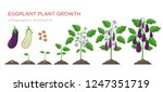 eggplant growing process from... | Shutterstock .eps vector #1247351719