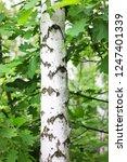 beautiful birch tree with white ...   Shutterstock . vector #1247401339