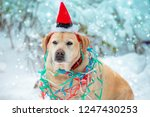 portrait of a dog entangled in... | Shutterstock . vector #1247430253